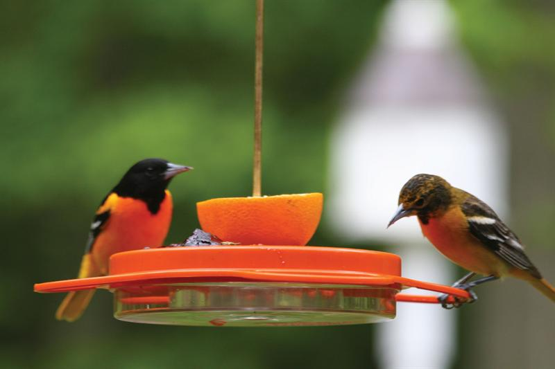 Backyard Nature Products Oriolefest Oriole Feeder