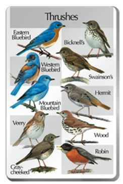 The SongBird IdentiFlyer Thrushes Songcard